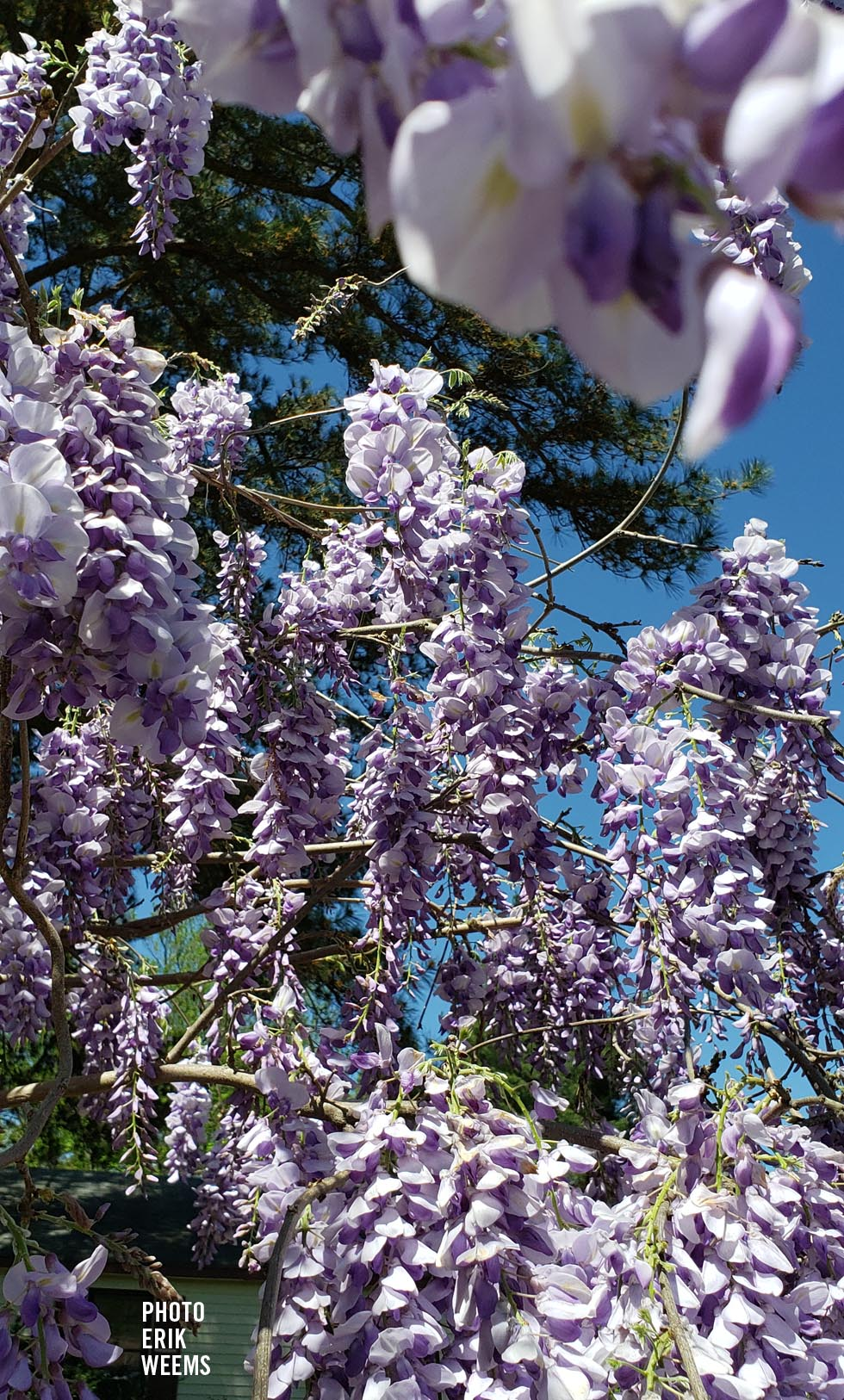 Wisteria Chesterfield County Virginia